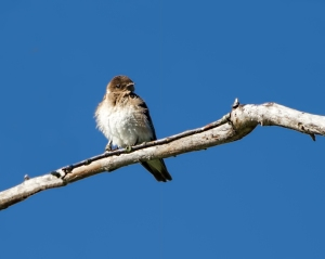 Northern Rough-winged Swallow, Rockaway River WMA, NJ, June 24, 2015 (photo by Jonathan Klizas)