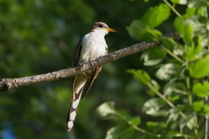 Yellow-billed Cuckoo, Egbert Pond, Rockaway Twp., NJ, June 22, 2015 (photo by Jonathan Klizas)