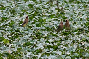 Cedar Waxwings, Speedwell Lake, Morristown, NJ, July 15, 2015 (photo by Jonathan Klizas)