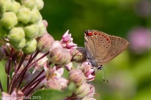 Coral Hairstreak, Wildcat Ridge, NJ, July 2, 2015 (photo by Jonathan Klizas)