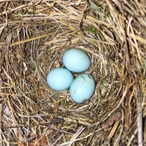 Eastern Bluebird nest, Great Swamp NWR, July 10, 2015 (iPhone photo by Jonathan Klizas)