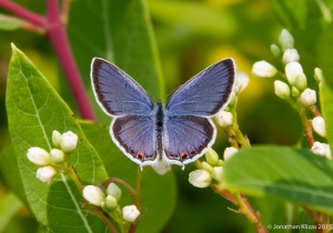 Male Eastern Tailed-Blue, Great Swamp NWR, NJ, July 5, 2015 (photo by Jonathan Klizas)