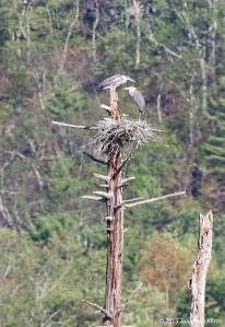 Great Blue Herons, Deerhaven Lake, NJ, July 16, 2015 (photo by Jonathan Klizas)