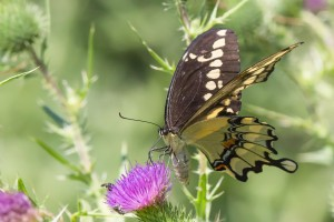 Giant Swallowtail, Duke Farms, NJ, July 25, 2014 (photo by Mike Newlon)