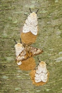 Gypsy Moths, Wildcat Ridge, July 2, 2015 (photo by Jonathan Klizas)