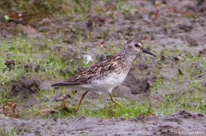 Least Sandpiper, Lincoln Park, NJ, July 17, 2015 (photo by Jonathan Klizas)