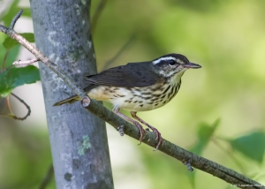Louisiana Waterthrush, Timberbrook Lake, NJ, July 31, 2015 (photo by Jonathan Klizas)
