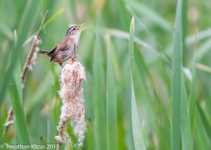 Marsh Wren, Great Swamp NWR, July 4, 2015 (photo by Jonathan Klizas)