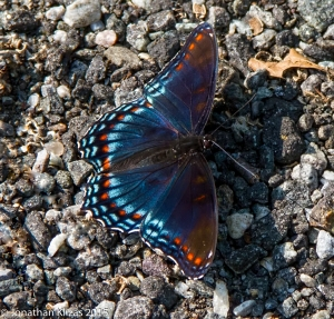 Red-spotted Purple, Wildcat Ridge, NJ, July 2, 2015 (photo by Jonathan Klizas)