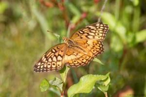 Variegated Fritillary, Lincoln Park Gravel Pits, NJ, July 28, 2015 (Jonathan Klizas)