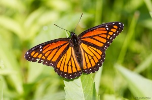 Viceroy, Lincoln Park Gravel Pits, NJ, July 28, 2015 (photo by Jonathan Klizas)