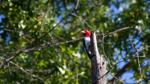 Red-headed Woodpecker (photo by Chris Thomas)