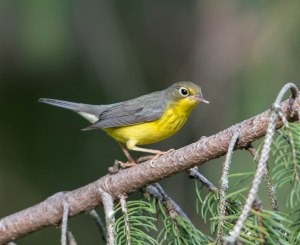 Canada Warbler, East Hanover, NJ, Aug. 8, 2015 (photo by Chuck Hantis)