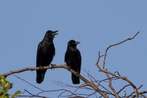 Fish Crows, Lincoln Park Gravel Pits, NJ, Aug. 7, 2015 (photo by Jonathan Klizas)