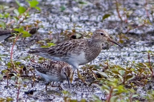 Pectoral and Least Sandpipers, Lincoln Park Gravel Pits, NJ, Aug. 5, 2015 (photo by Jonathan)