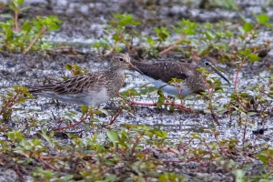 Pectoral and Solitary Sandpipers, Lincoln Park Gravel Pits, NJ, Aug. 5, 2015 (photo by Jonathan)
