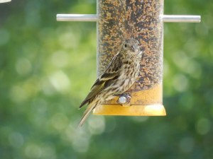 Pine Siskin, Middle Valley, NJ, Aug. 9, 2015 (photo by Alison Goesling)
