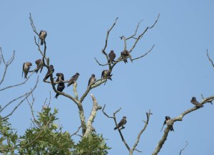 Purple Martins, Great Swamp NWR, NJ, Aug. 3, 2015 (photo by Chuck Hantis)