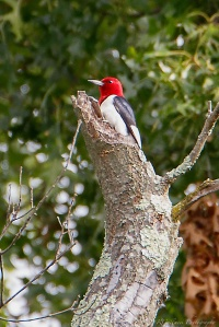 Red-headed Woodpecker, Glenhurst Meadows, NJ, Aug. 6, 2015 (photo by Robert Gallucci)