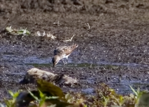 Semipalmated Sandpiper, Lincoln Park Gravel Pits, NJ, Aug. 7, 2015 (photo by Jonathan Klizas)