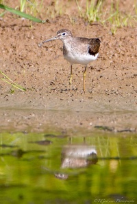 Solitary Sandpiper, Glenhurst Meadows, NJ, Aug. 6, 2015 (photo by Robert Gallucci)