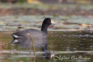 American Coot, Lake Hopatcong, NJ, Sep. 25, 2015 (photo by Mitch Van Beekum)