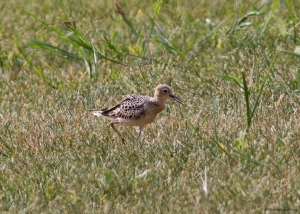 Buff-breasted Sandpiper, Montgomery Twp., NJ, Sep. 2, 2015 (photo by Jonathan Klizas)