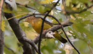 Connecticut Warbler, Glenhurst Meadows, NJ, Sep. 1, 2015 (photo by Jason Denesevich)