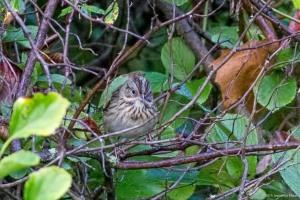 Lincoln's Sparrow, Morris Twp., NJ, Sep. 12, 2015 (photo by Jonathan Klizas)