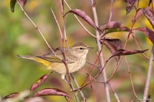 Palm Warbler, Troy Meadows, NJ, Sep. 26, 2015 (photo by Jonathan Klizas)