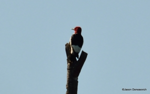 Red-headed Woodpecker, Lord Stirling Park, NJ, Sep. 7, 2015 (photo by Jason Denesevich)