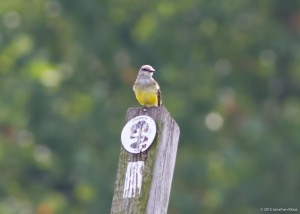 Western Kingbird, Hanover Twp., NJ, Sep. 13, 2015 (photo by Jonathan Klizas)