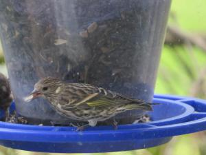 Pine Siskin, Roxbury Twp. NJ, Oct. 5, 2015 (photo by Alan Boyd)