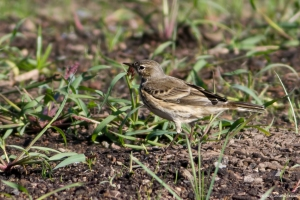 American Pipit, Whippany, NJ, Oct. 6, 2015 (photo by Jonathan Klizas)
