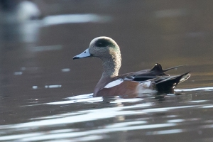 American Wigeon, Lake Hopatcong, NJ, Oct. 22, 2015 (photo by Mitch Van Beekum)