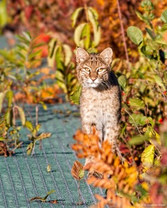 Bobcat, Morris Co., NJ, Oct. 17, 2015 (photo by Jonathan Klizas)