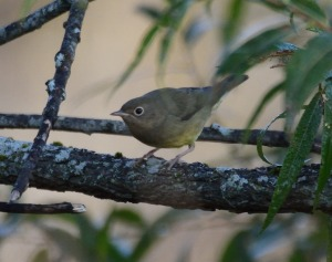 Connecticut Warbler, Glenhurst Meadows, NJ, Oct. 11, 2015 (photo by Jason Denesevich)
