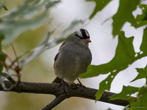 White-crowned Sparrow, Parsippany, NJ, Oct. 3, 2015 (photo by Chris Thomas)