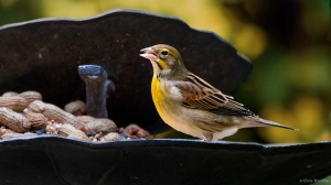 Dickcissel, Dover, NJ, Oct. 12, 2015 (photo by Chris Thomas)