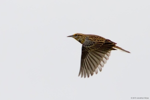 Eastern Meadowlark, Harding Twp., NJ, Oct. 27, 2015 (photo by Jonathan Klizas)