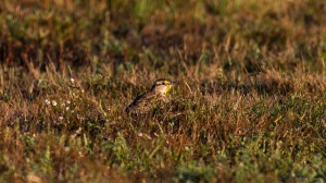 "Eastern Meadowlark, Florham Park, NJ, Oct. 17, 2015 (photo by Chris ""Meadowlark"" Thomas)"