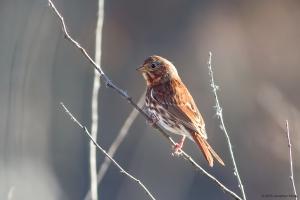 Fox Sparrow, Troy Meadows, NJ, Oct. 31, 2015 (photo by Jonathan Klizas)