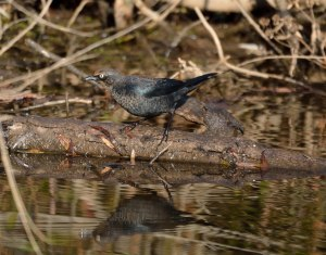 Rusty Blackbird, Glenhurst Meadows, NJ, Oct. 22, 2015 (photo by Jason Denesevich)