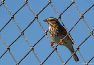 Savannah Sparrow, Whippany, NJ, Oct. 6, 2015 (photo by Jonathan Klizas)
