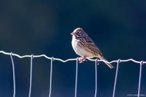 Vesper Sparrow, Harding Twp., NJ, Oct. 17, 2015 (photo by Jonathan Klizas)