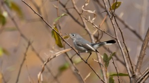 Blue-gray Gnatcatcher, Mt. Olive Twp., NJ, Nov. 6, 2015 (photo by Chris Thomas)