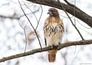 Red-tailed Hawk, Willowwood Arboretum, NJ, Nov. 7, 2015 (photo by Jonathan Klizas)