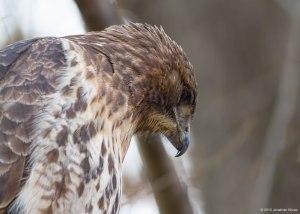 Red-tailed Hawk, Willowwood Arboretum, NJ, Nov. 7, 2015 (photo by Jonathan Klizas)
