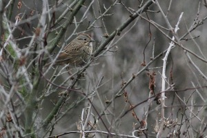 Lincoln's Sparrow, Troy Meadows, NJ, Dec. 27, 2015 (photo by Jeff Ellerbusch)