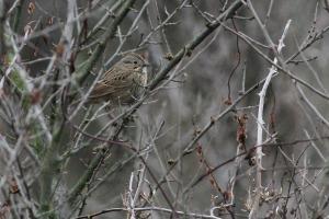 Lincoln's Sparrow, Troy Meadows, NJ, Dec. 27, 2015 (photo by Jeff Ellerbusch)